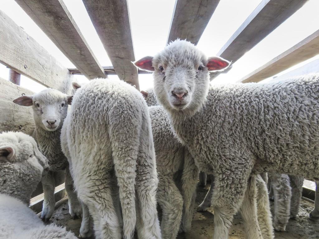 Lamm på Ovis 21 fårfarmer. Foto: Peta