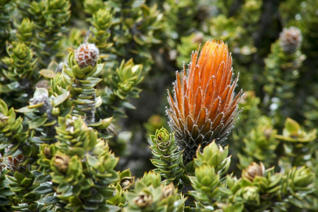 Chuquiraga är en av de växter som tydligast har migrerat uppåt på vulkanen. Foto: Patomena/Creative Commons Attribution-Share Alike 3.0