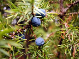 Ordet en kan till exempel syfta på en Juniperus Lin. Foto: Hasse Holmberg/TT