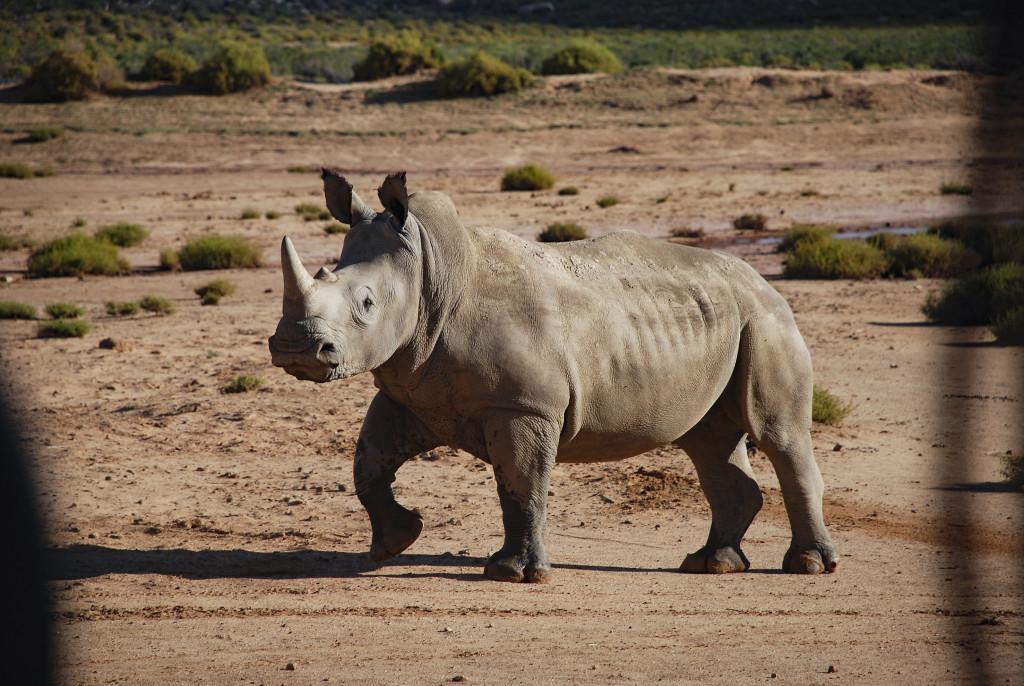 Utrotningshotad. En noshörning dödas var sjätte timme för sitt horn och tjuvjakten bara fortsätter att öka. Foto: Sebastian van Baalen