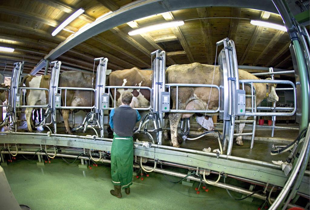 Enligt bland annat FAO alstrar den djurindustrin växthusgaser i samma storleksordning som alla transporter tillsammans. Gunnar Rundgren tycker dock att fokuseringen på idisslarnas metanutsläpp är olycklig och leder oss bort från ett hållbart jordbruk. Foto: Gaetan Bally/Keystone/TT