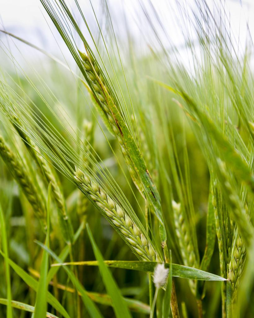 Jordbruksmarken behöver bättre lagligt skydd mot exploatering, anser föreningen Den goda jorden. Foto: Marcus Ericsson/TT