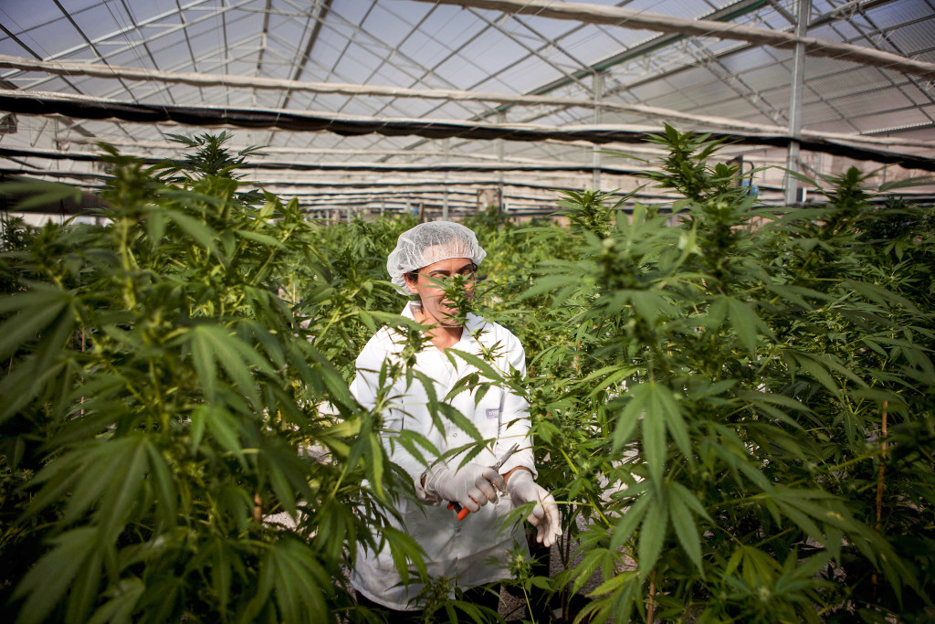I Israel är cannabis förbjudet för rekreationellt bruk men tillåtet som medicin. Här odlas medicinsk cannabis. Foto: Dan Balilty/AP/TT