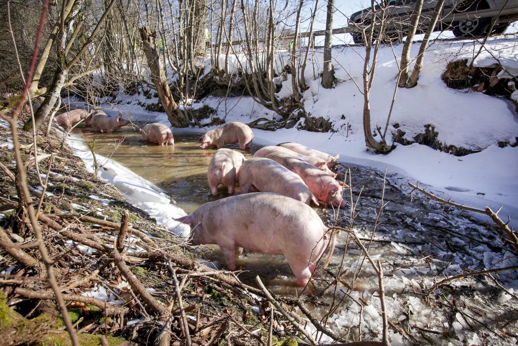 En lastbil full med grisar har vält på väg till slakteriet, och för första och sista gången får grisarna en stunds frihet. Foto: Stig-Åke Jönsson/TT.