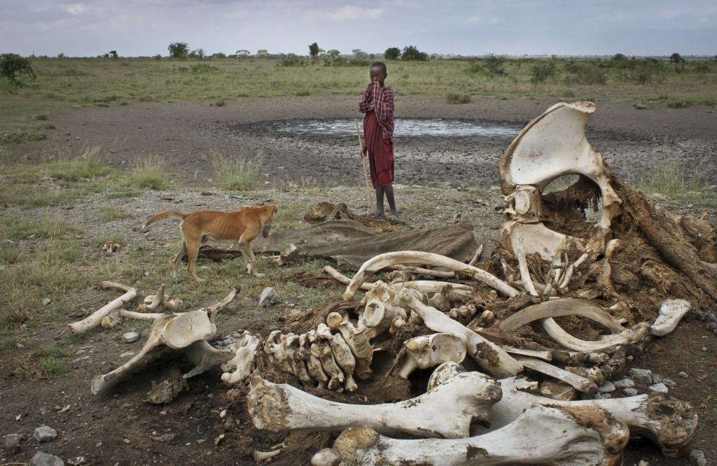 2014 dödades 35000 elefanter av tjuvskyttar, enligt WWFs undersökning, och efterfrågan på elfenben och delar av andra hotade djur ökar. Foto: Jason Straziuso/AP Photo/TT