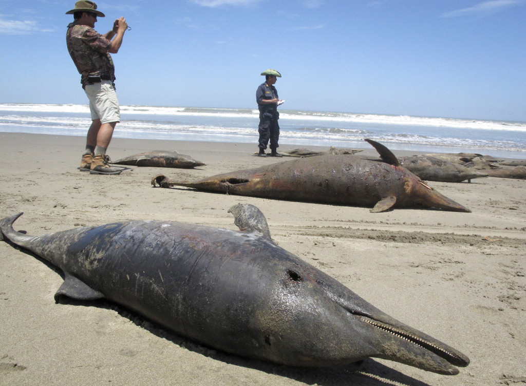 År 2012 dog tusentals delfiner längs Perus kust. Orsaken var sannolikt svält. Foto: Nestor Salvatierra/AP Photo/TT.