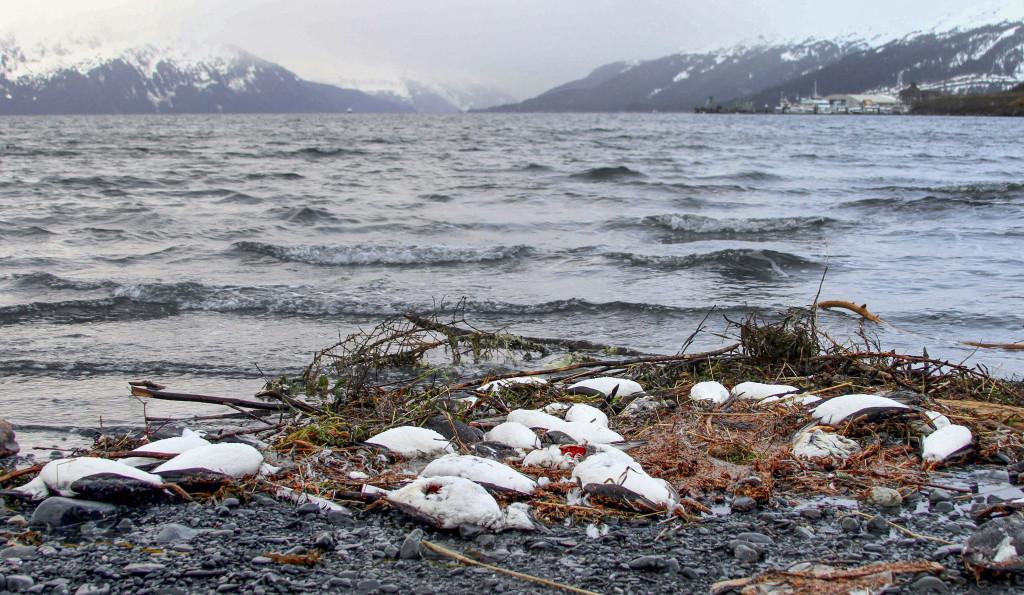 Myndigheterna i Alaska efterfrågar mer forskning om vad som kan ha orsakat att tusentals sillgrisslor har hittats döda på stränderna under de senaste månaderna. Foto: Mark Thiessen/AP Photo/TT.