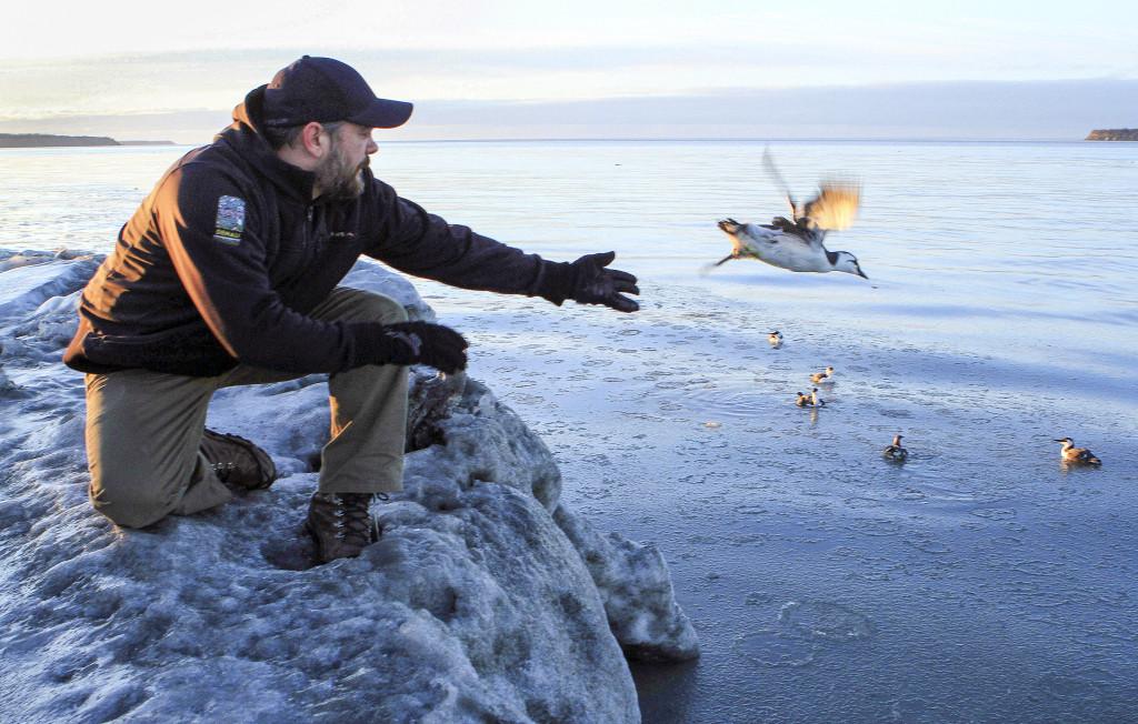 I Alaskas huvudstad Anchorage har Bird Treatment and Learning Center behandlat och släppt ut hundratals sillgrisslor som hittats utmärglade av svält. Foto: Dan Joling/AP Photo/TT.