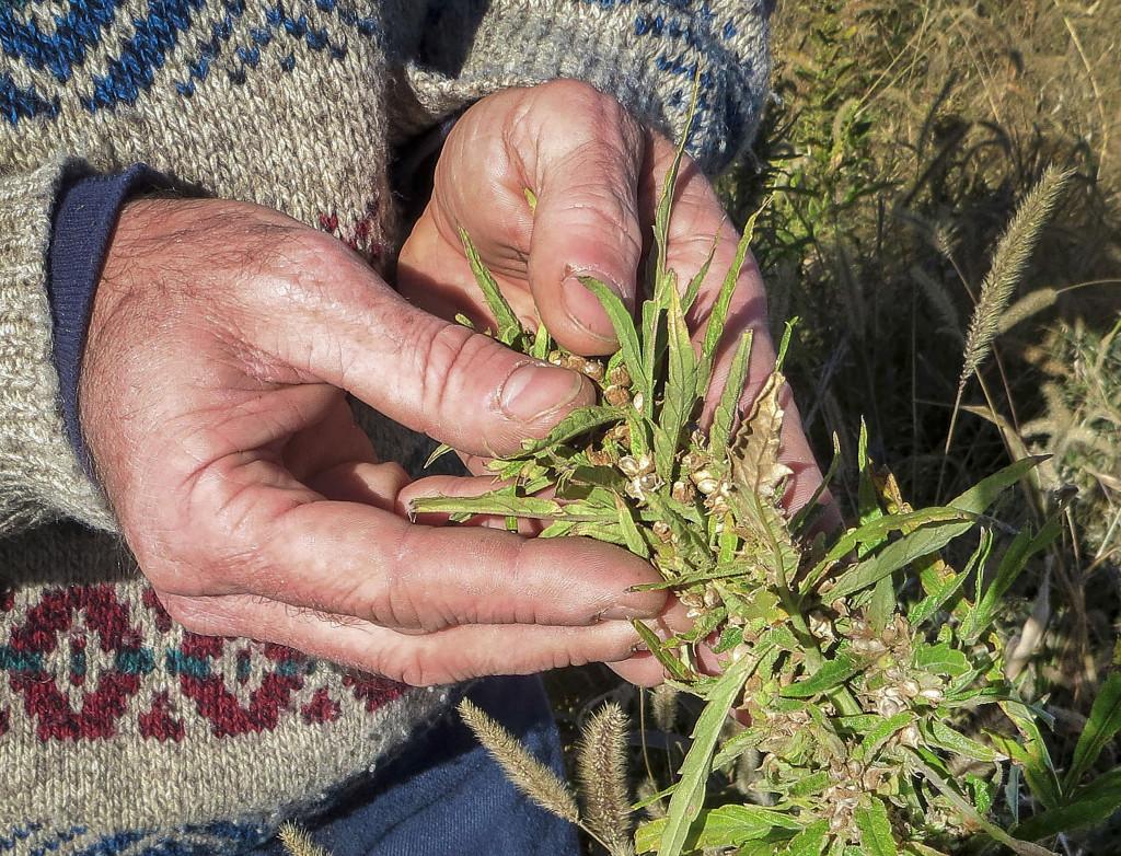 Varför slutade man odla hampa i USA egentligen? Berodde det på den nya marijuanalagen eller på att nylon blev mer populärt? Meningarna går isär. Foto: Kristen Wyatt/AP/TT.