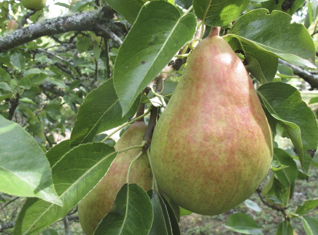 När äpplena blir dyrare betyder det att vi ska äta päron, skriver Harald Enoksson. Foto: Dean Foswick/AP/TT.