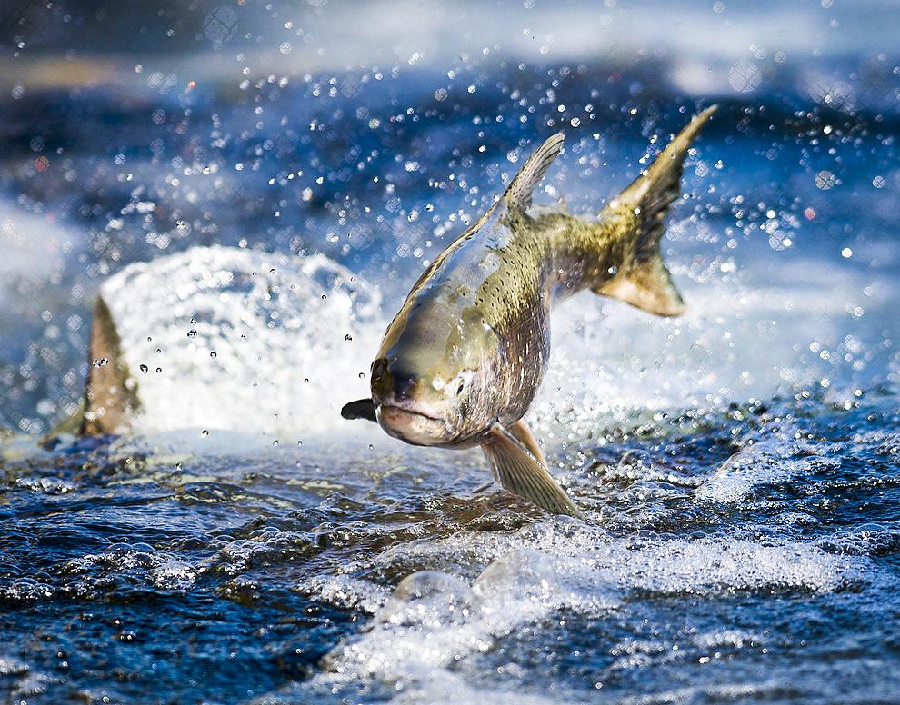 Laxen är naturligt mycket rörlig. Den föds i sötvattendrag och simmar sedan till havet, men återvänder till samma sötvattenkälla för att lägga eller befrukta ägg. Foto: Hector Amexcua/ The Sacramento Bee/AP Photo/TT.