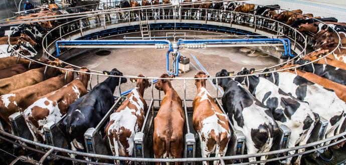 Stordrift. Kor i en mjölkkarusell hos Vadsbo Mjölk AB, en hypermodern anläggning med över tusen mjölkkor som producerar ekologisk mjölk. Foto: Lars Pehrson/ TT.