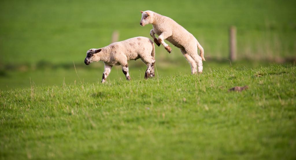 Glada lamm kan symbolisera våren och ljuset som kommer tillbaka, lika väl som den gamla historien i Torahn. Foto: Morguefile