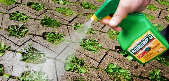 Roundup är ett glyfosatbaserat bekämpningsmedel. I Sverige säljs varje år mellan 600 och 700 ton glyfosat enligt Kemikalieinspektionen. Foto Erik Abel / TT.