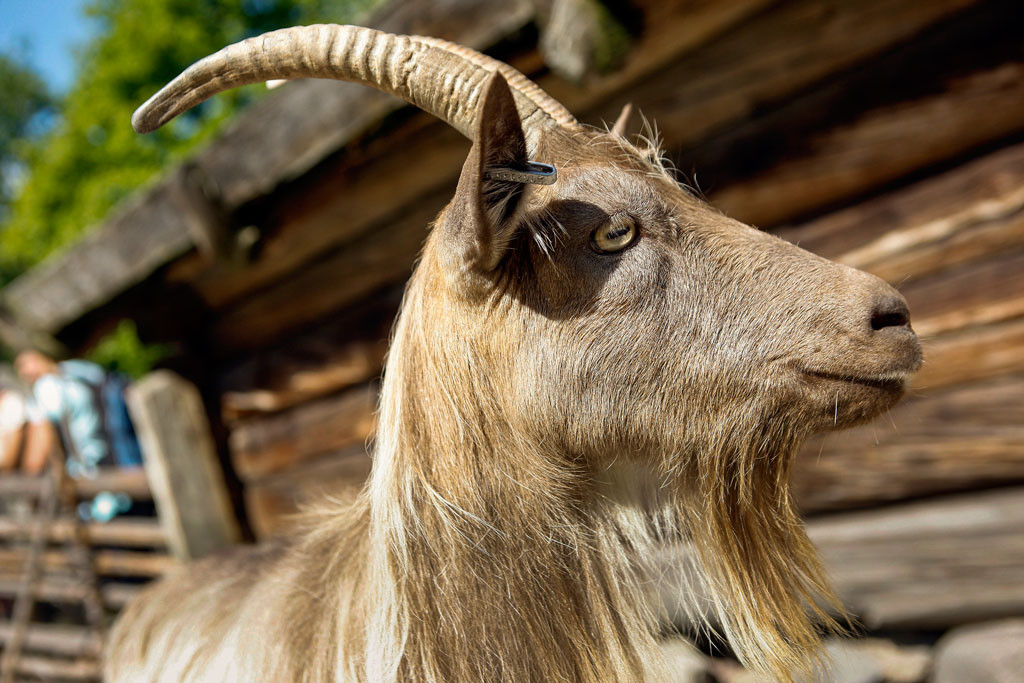 Jämtgetter var vanliga i Jämtland och Härjedalen förr. Men i likhet med djur av andra gamla lantraser gav de inget större överskott, skriver Stefan Villkatt. Foto: Fredrik Persson/TT.